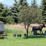 Young bull moose in yard