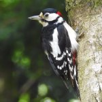 Great Spotted Woodpecker - male