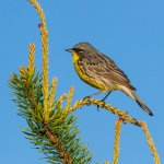 Kirtland's warbler, seen close by