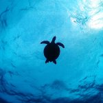 Hawkesbill turtle on an early morning dive at Saxon Reef