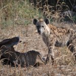 Hyena cruising an elephant carcass ...