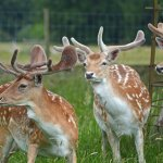 Young male deer at Charlecote