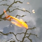 "Plenty of famous ""goldfish"" can be spotted in the lake inside"
