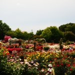 Photo of Keisei Rose Garden