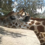 Feeding the giraffes from the safari jeep.