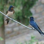 Swallows from our balcony