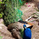 There are several peacocks in the garden