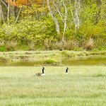 Canada geese by the salt marsh