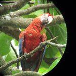 The local scarlet macaw.