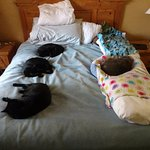 4 of 4 kitties think Red Lion's Beds are GREAT!!! (Notice blanket for hair-control on hotel line