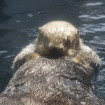 Sea otter blowing air into his fur for insulation against the cold water.