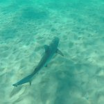 Dusky whaler sharks at the dive site recommended by Dive Centre Manly staff. I was blown away!