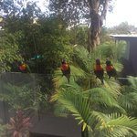 Local rainbow lorikeets stopping by.