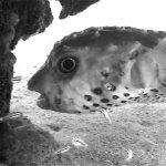 Die niedlichen Kugelfische findet man oft direkt unter dem Steg.