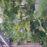 las uvas