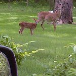 Momma Deer and her baby