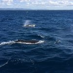 Two whales surfacing together