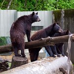 only black bears in sitka