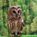 Tootsie-Northern Saw Whet owl