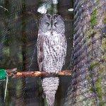 Boris-Great gray owl