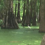 Photo de Champagne's Cajun Swamp Tours