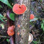 Fungus along Pipiwai Trail
