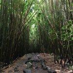 Bamboo forest along Pipiwai Trail