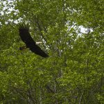 A bald eagle at Fortress of the Bear.