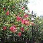 Crepe Myrtle in Jackson Square