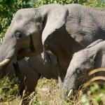 Large elephant herds in the area