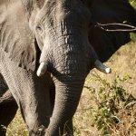 Close encounter with an elephant