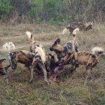 Wild dog sighting at Khwai