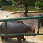 La famiglia di ippopotami