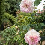 David Austin rose 'St Swithun'