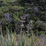 Dried flax flowers with maturing NZ forest in the background.