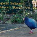 Takahe on the deck at Waiorua Lodge.