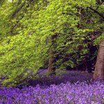 Bluebells at Thorp Perrow (With permission: Wends Photography)