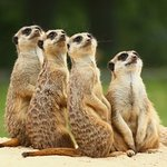 Meerkats at Thorp Perrow