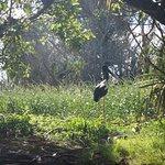 Jabiru in corroboree billabong