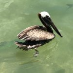 friendly pelicans at Robbies