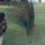 Nature at best and life so peaceful that even peacock danced without fear of Humans. Such a love