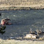 Lamar Valley Wolf on Elk Carcass