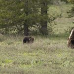 Teton Grizzly and Cubs