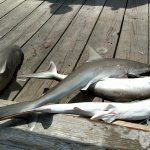 Atlantic sharks