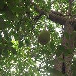 JackFruit Tree in Durshet Premises