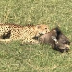 cheetah after a hunt and it's wildebeest calf prey.