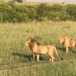lions defending marking their territory.