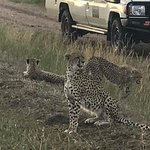 cheetah mother and 2 adolescences