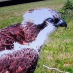 Monty the male osprey on his resting place