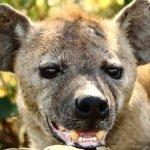 A salivating hyena